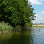 Płn brzeg Gardna - pogryzione drzewa. Fot. M. Halter