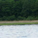 Trzciny przy brzegu Gardna. Fot. M. Halter