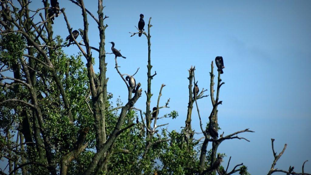 5. Wyspa jest królestwem kormoranów, zoom x50 pozwala na takie zbliżenie